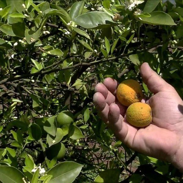 Doença que atinge pomar de laranja preocupa produtores do Brasil e dos Estados Unidos