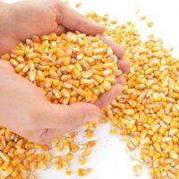 milho-grao-para-alimentacao-animal-50-kg-28cf0ea8dc27012b17b0c86195383ac5