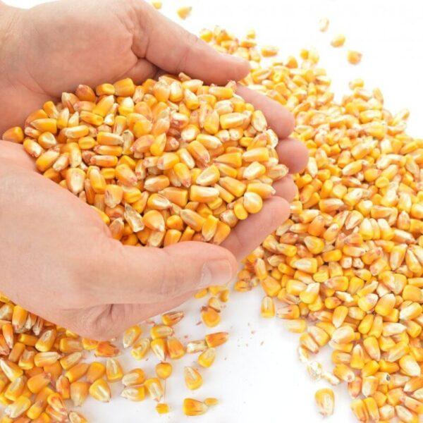 Plantio do milho foi encerrado no RS enquanto colheita foi à 39%, aponta Emater